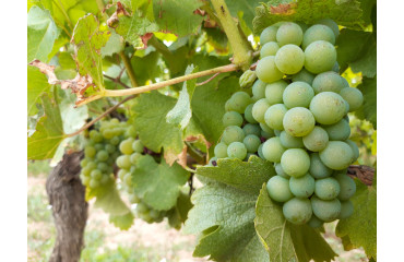 Les cépages du Sauternais, le Sauvignon Blanc :